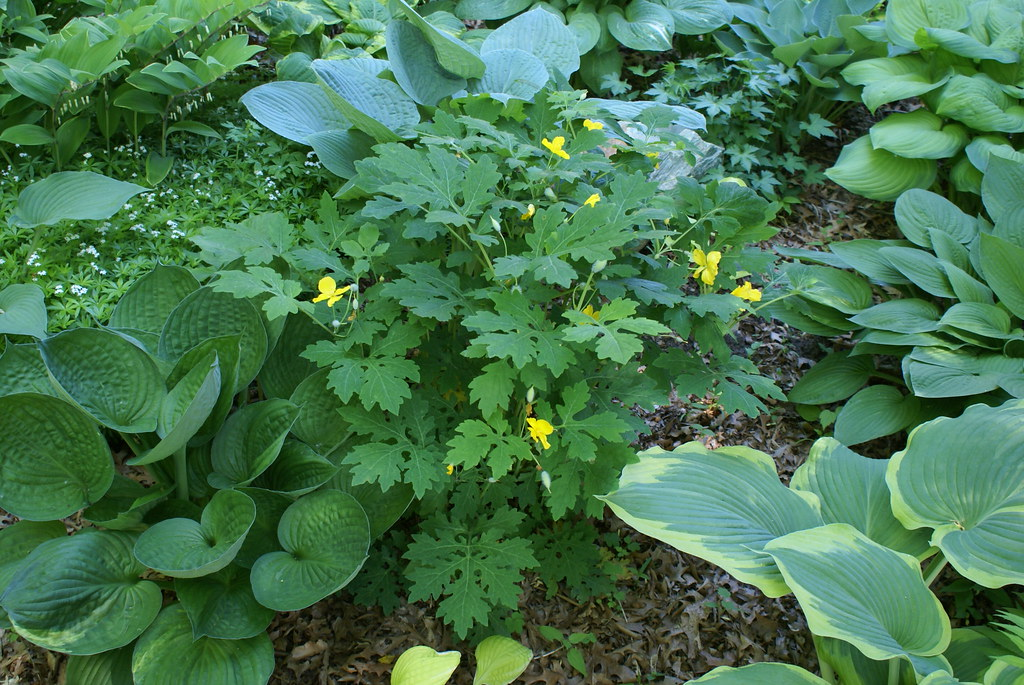 Celandine Poppy (Stylophorum diphyllum - Wood Poppy) (08)-1
