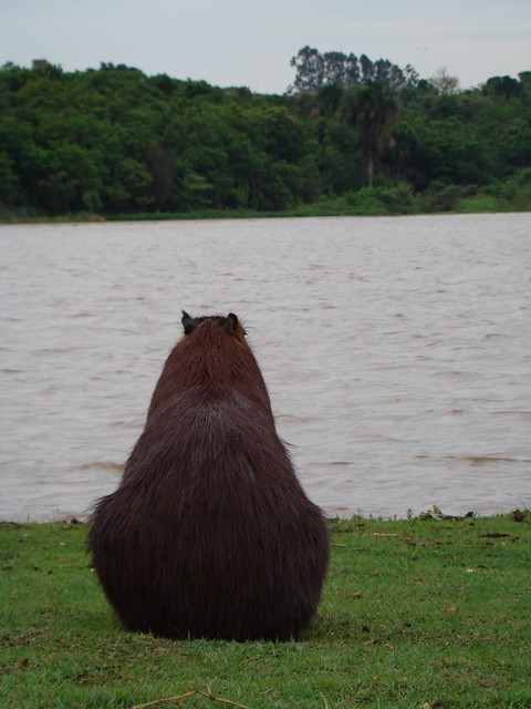 Capybaras like to waste their time just like me