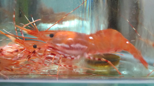 Beautiful Scarlet Shrimp