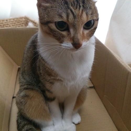 段ボール箱が嫌いな猫がいるのかしら by Chinobu