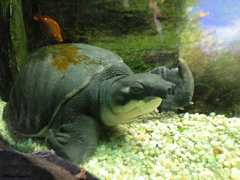 New Guinea Plateless Turtle    Carettochelys insculpta     Central Park Zoo  New York 37 14ok13_641
