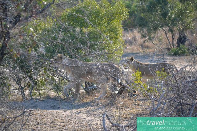 Lions stalking warthog