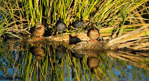 park county plant bird public water creek river photo ellis wildlife sonoma pic petaluma fowl facility recycling preserve wetland shollenberger dunby treatmant ecwrf petalumawetlandsorg