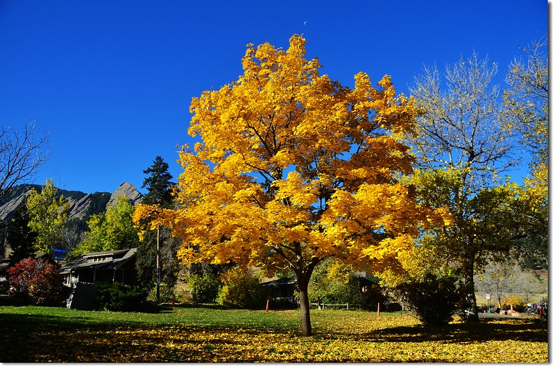 Noway maple in Fall, Chautauqua, Boulder 3