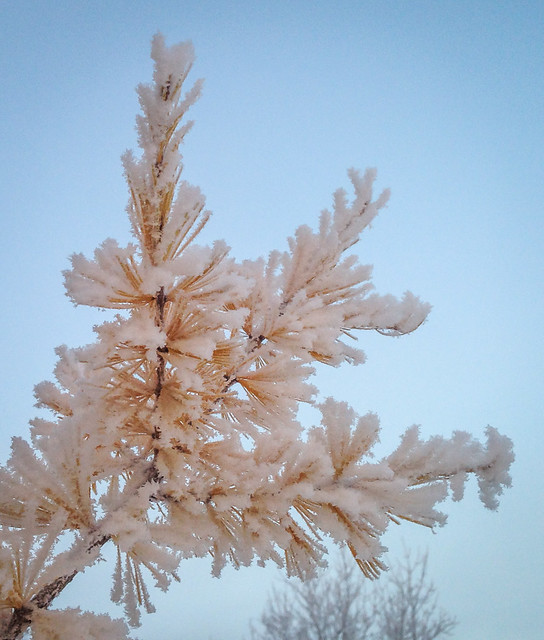frost covered larch