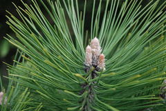 arecales(0.0), branch(0.0), saw palmetto(0.0), conifer cone(0.0), temperate coniferous forest(0.0), spruce(0.0), larch(1.0), evergreen(1.0), flower(1.0), pine(1.0), leaf(1.0), tree(1.0), flora(1.0), fir(1.0),