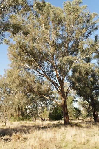 Eucalyptus melliodora 130520-8151