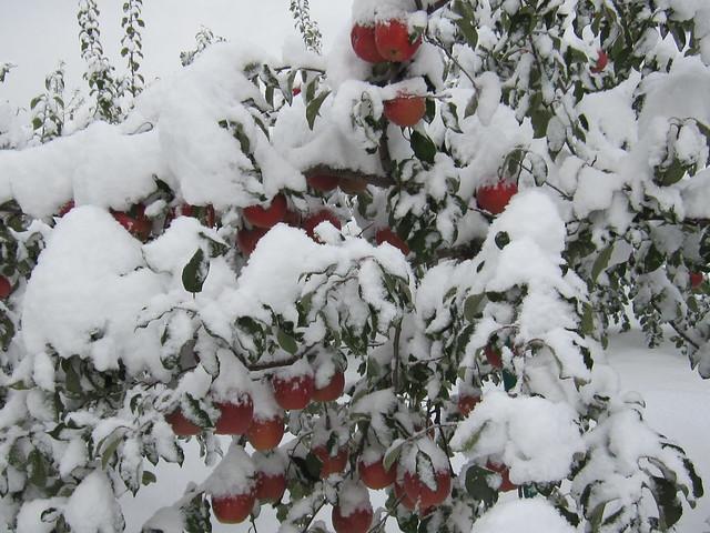 積雪りんご