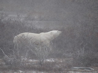 "Haha polar bear happily walking ""backstage""  (i.e. behind the willows) after his performance for the day had ended."