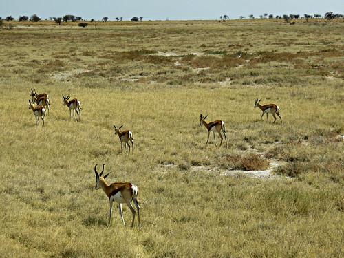 africa travel nature canon river geotagged nationalpark bovidae namibia etosha springbok southernafrica antidorcasmarsupialis 2013 geomapped lindadevolder powershotsx40