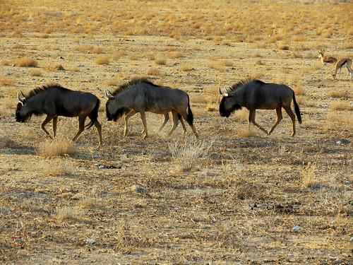 africa travel nature canon river geotagged nationalpark bovidae namibia gnu etosha southernafrica bluewildebeest 2013 connochaetestaurinus geomapped whitebeardedwildebeest commonwildebeest lindadevolder powershotsx40