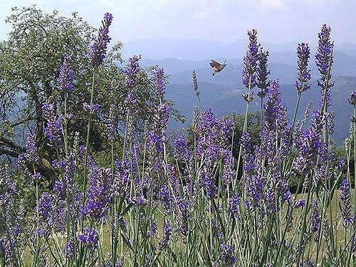 El Serradell_lavender