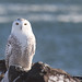 Snowy Owl Perched In The Blowing Snow 3 #Flickr12Days