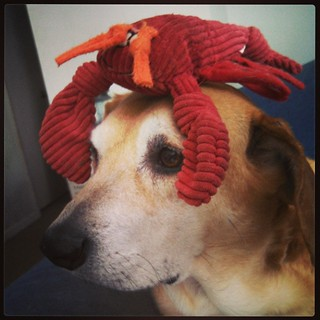 Miss Lobster Head says Good Morning! #dogstagram #instadog #houndmix #lobster #rescued #adoptdontshop