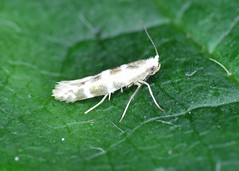 20.005 Triple-barred Argent - Argyresthia trifasciata