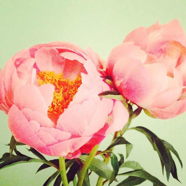 Still obsessed with #peonies. #yaysummer