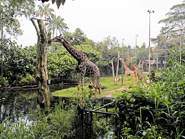 singapore night safari giraffe