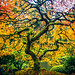 Maple Magic by West Leigh
