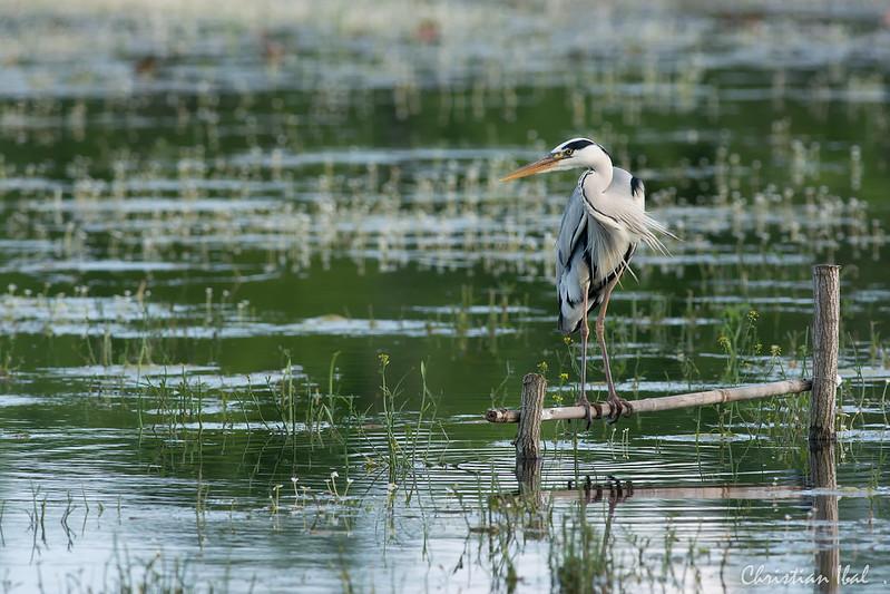 forum image nature o afficher le sujet texas le With ordinary quelle couleur avec du bleu 6 grand heron