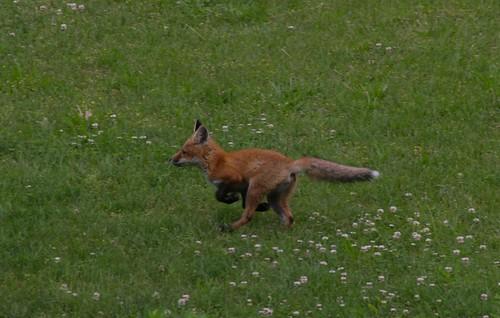 130613 Red Fox in My Garden