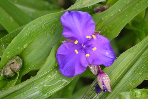 TRADESCANTIA 'Purple Dome'