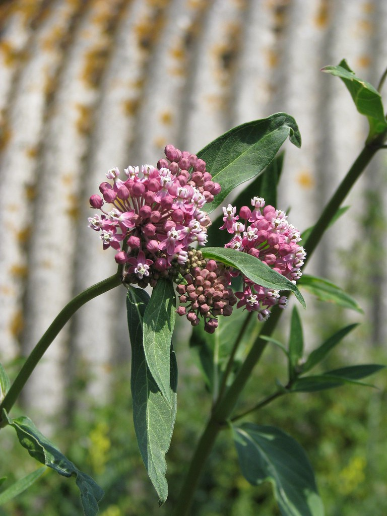 Asclepias cf. purpurascens