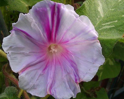 Ipomoea nil Pink Splash by Gerris2