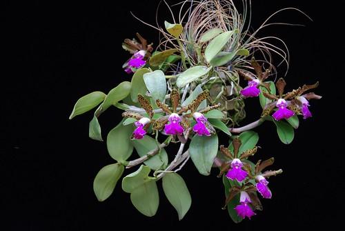Cattleya Peckhaviensis Plant 1 by salabat
