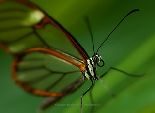Glasswings Butterfly