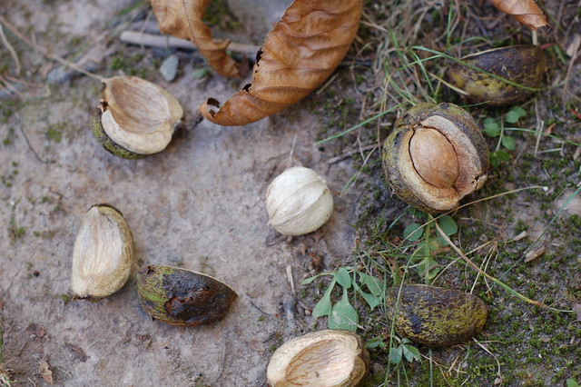 Shagbark hickory nuts by Eve Fox, the Garden of Eating blog, copyright 2013