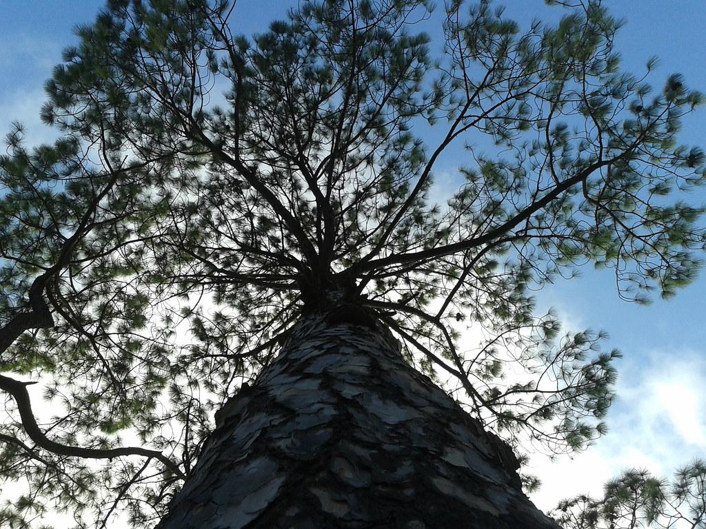 Chir pine tree, Lansdowne