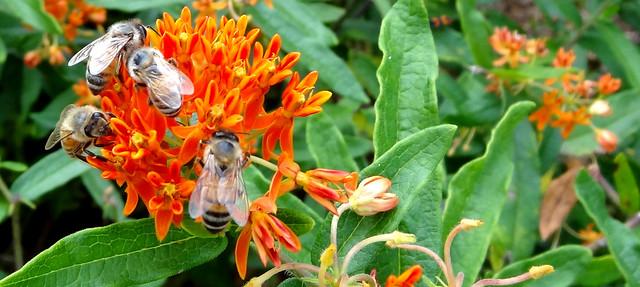 bees on Asclepias, enhanced a bit