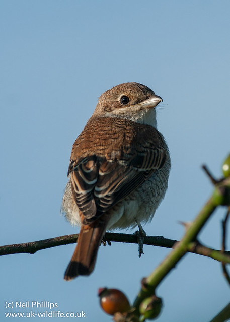 red shrike Juvenile-14