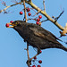 Blackbird with berry