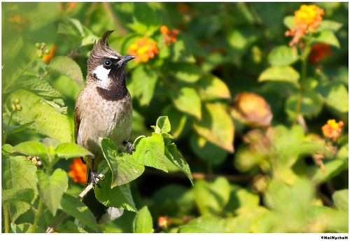The Himalayan Bulbul is a species of songbird in the Pycnonotidae family. If they are mixed with humans from a young age, they will become friendly to humans.