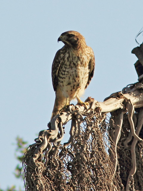Red-shouldered Hawk 20131208