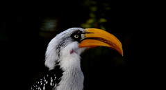 EASTERN YELLOW-BILLED HORNBILL