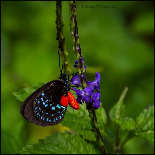 butterfly florida westpalmbeach okeeheeleepark pentax300mm atalahairstreak pentaxk5 eumaeusatalaflorida