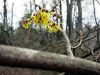 Brookside Gardens in winter: Hamamelis x intermedia 'Gimborn's Perfume' (witchhazel)