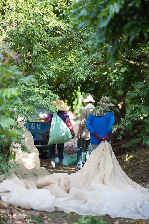 台南私藏景點--南化採梅 (18)