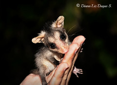 Baby Opossum / Didelphis marsupialis