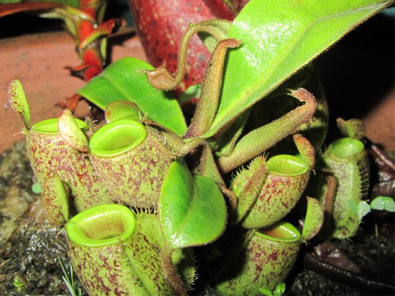 am-goc-tao-ampullaria-(1)