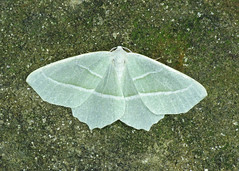 1961 Light Emerald - Campaea margaritata