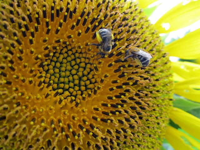 sunflower pollinators - bees