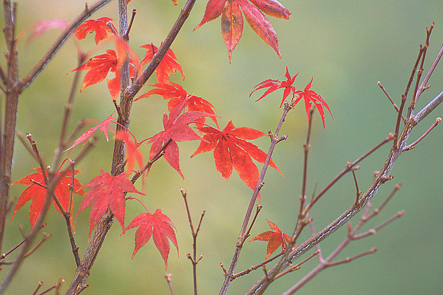 Maple in the mist / Ahorn im Nebel