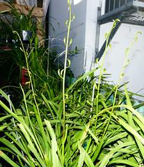 Cymbidium erythraeum species orchid, 1st bloom starts  11-16