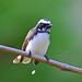 White-browed Fantail by Anuj Nair