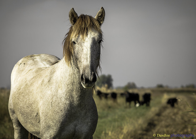 Horse with bulls in Camargue