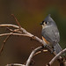 Just another Titmouse by dbifulco