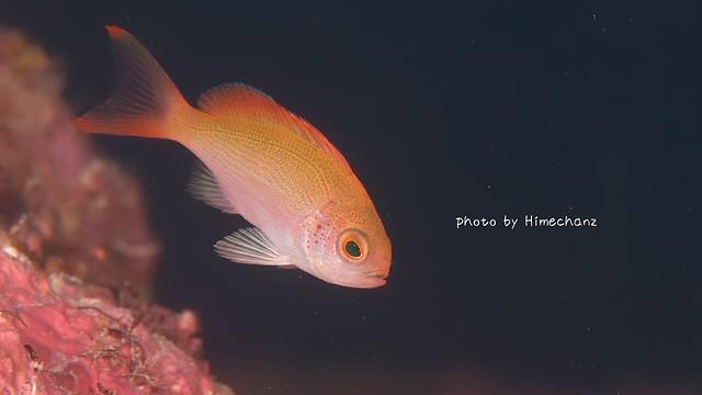 カシワハナダイ幼魚♪